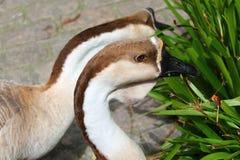 Nahes hohes Foto einer Gans in einem Zoo draußen stockbild