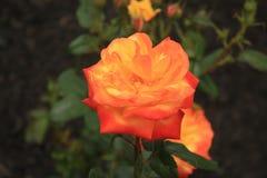 Nahes hohes Foto einer Judy Garland-Rose lizenzfreies stockbild