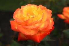 Nahes hohes Foto einer Judy Garland-Rose stockbilder