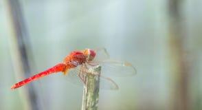 Nahes hohes Foto einer roten Libelle lizenzfreies stockfoto