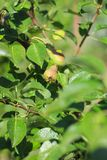 Nahes hohes Foto von kleinen wachsenden Birnen auf den grünen Blättern stockfotos