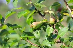 Nahes hohes Foto von kleinen wachsenden Birnen auf den grünen Blättern stockbild
