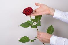 Nahes hohes Fotobild der reizend hübschen großen großen rosafarbenen Blume in der Hand des Mannes lokalisiert über grauem Hinterg lizenzfreies stockbild