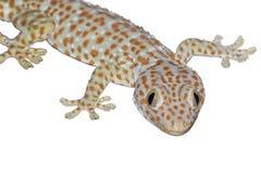 Nahes hohes Geckoisolat auf weißem Hintergrund stockfotografie