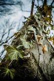 Nahes hohes Kunstbild des gemeinen Efeus kletternd auf dem alten Majestätsweißbuchebaum im wilden Wald stockbilder