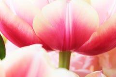 Nahes hohes Makro der Tulpe Stockfotos