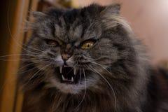 Nahes hohes Porträt der ernsten verärgerten grauen pelzartigen scotish Katze mit orange Augen und großen Reißzähnen lizenzfreie stockbilder