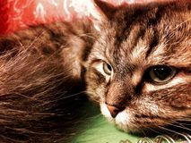 Nahes hohes Porträt der sibirischen Zucht der grünäugigen Katze lizenzfreie stockbilder