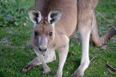 Nahes hohes Porträt des östlichen grauen Kängurus lizenzfreie stockfotografie
