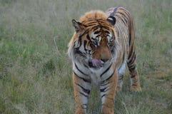 Nahes hohes Porträt eines netten Bengal-Tigers in Südafrika lizenzfreie stockfotos