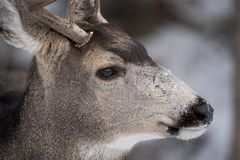 Nahes hohes Porträt Maultierhirsche, der Seitenansicht, mit Schnee auf Nase und Schnauze lizenzfreies stockbild