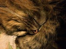 Nahes hohes Portr?t der sibirischen Zucht der gr?n?ugigen Katze stockfotos