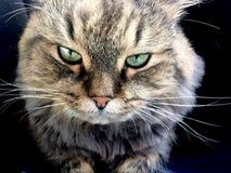 Nahes hohes Portr?t der sibirischen Zucht der gr?n?ugigen Katze stockbilder