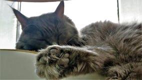 Nahes hohes Portr?t der sibirischen Zucht der gr?n?ugigen Katze stockfotografie