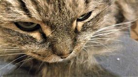 Nahes hohes Portr?t der sibirischen Zucht der gr?n?ugigen Katze lizenzfreies stockfoto