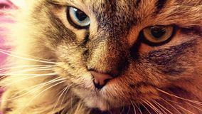 Nahes hohes Portr?t der sibirischen Zucht der gr?n?ugigen Katze lizenzfreies stockbild