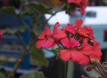 Nahes hohes Trieb der ivyleaf Pelargonienblume Unscharfer Hintergrund lizenzfreies stockfoto
