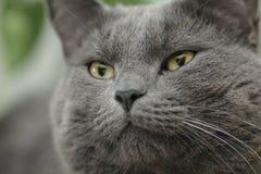 Nahes Porträt ernster britischer shorthair Katze Stockfoto