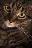 Nahes Porträt von großen gelben Augen einer weiblichen der getigerten Katze Katze Lizenzfreie Stockfotos