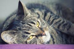 Nahes Porträt eines weiblichen Katzenlügens der getigerten Katze Lizenzfreie Stockfotografie