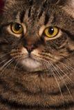 Nahes Porträt von großen gelben Augen einer weiblichen der getigerten Katze Katze Stockfoto
