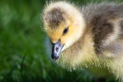Nahes Profil von einem entzückenden neugeborenen Gosling stockbilder