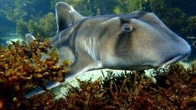 Nahes Treffen der Port-Jackson-Stierkopfhai-Art stockfoto
