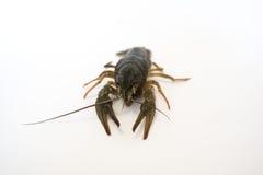Nahrung Live Crayfish auf einem weißen Hintergrund lizenzfreies stockfoto