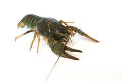 Nahrung Live Crayfish auf einem weißen Hintergrund lizenzfreie stockbilder