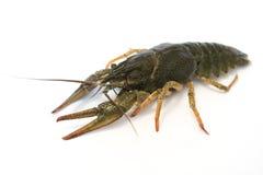 Nahrung Live Crayfish auf einem weißen Hintergrund stockbilder