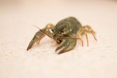 Nahrung Live Crayfish auf einer Marmortabelle lizenzfreie stockbilder