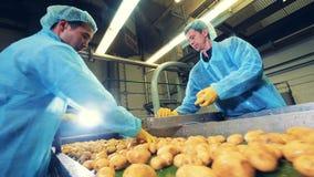 Nahrungsmittelarbeiter schnitten Kartoffeln zur Hälfte auf einem Förderer stock footage