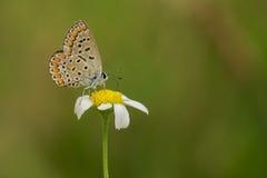 Nahrungszeit für Schmetterling Stockfotografie