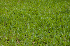 Nahtlose Beschaffenheit des grünen Grases Stockbilder