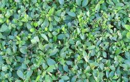 Nahtlose Beschaffenheit von grünen Blättern fliesen Lizenzfreies Stockfoto