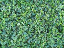 Nahtlose Beschaffenheit von grünen Blättern fliesen Lizenzfreie Stockfotos