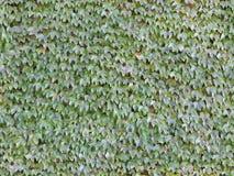 Nahtlose Ivy Wall Background Tile Stockfotos