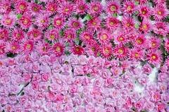 Nahtloser Hintergrund der rosa natürlichen Blumen des viel Lizenzfreie Stockfotos