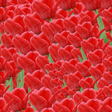 Nahtloser Hintergrund mit roten Tulpen Lizenzfreie Stockfotos