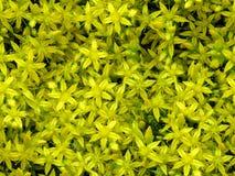 Nahtloser mit Blumenhintergrund kleinen gelben Sedum-Morgens blüht Lizenzfreies Stockbild