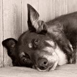 Naida. Sad look of a dog Royalty Free Stock Photo