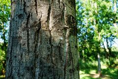 Nail in a tree Royalty Free Stock Photography