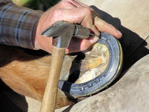 Nailing Down the Horseshoe. Blacksmith, or equine farrier, nails a horse shoe to a horse's hoof Stock Photography