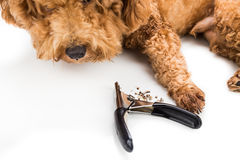 Nails clipped during gromming with clipper and dog as background Royalty Free Stock Photos