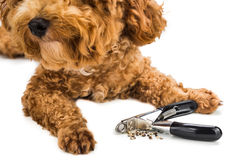 Nails clipped during gromming with clipper and dog as background Royalty Free Stock Image