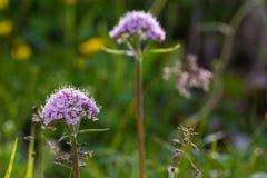 Nain de fleur d'Alpes Photographie stock libre de droits