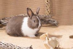 Nain néerlandais gris et blanc de lapin sur la toile à sac Un mois Photo stock
