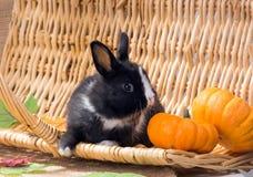Nain néerlandais noir et blanc de lapin avec de petits potirons Un mont Photos libres de droits