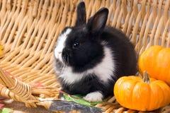 Nain néerlandais noir et blanc de lapin avec de petits potirons Un mont Photo stock