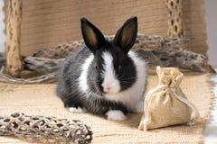 Nain néerlandais noir et blanc de lapin sur la toile à sac Un mois Photo stock
